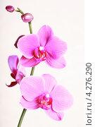 Цветы розовой орхидеи, эксклюзивное фото № 4276290, снято 10 февраля 2013 г. (c) Яна Королёва / Фотобанк Лори