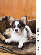 Купить «Щенок папийона в лежанке для собак», фото № 4277194, снято 10 февраля 2013 г. (c) Сергей Лаврентьев / Фотобанк Лори
