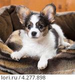 Купить «Маленький щенок папийона в лежанке для собак», фото № 4277898, снято 10 февраля 2013 г. (c) Сергей Лаврентьев / Фотобанк Лори