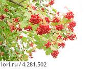 Купить «Калина (Viburnum) на белом фоне», эксклюзивное фото № 4281502, снято 17 августа 2012 г. (c) Алёшина Оксана / Фотобанк Лори