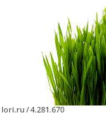 Купить «Зеленая трава в каплях воды, белый фон», фото № 4281670, снято 11 февраля 2013 г. (c) Наталия Кленова / Фотобанк Лори