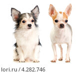 Купить «Две собаки породы чихуахуа: длинношерстная и короткошерстная», фото № 4282746, снято 11 июня 2020 г. (c) Сергей Лаврентьев / Фотобанк Лори