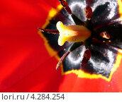 Внутренности цветка красного тюльпана Дарвина. Стоковое фото, фотограф Валерий Шитов / Фотобанк Лори