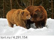 Купить «Бурые медведи», фото № 4291154, снято 8 февраля 2013 г. (c) Эдуард Кислинский / Фотобанк Лори