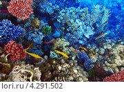 Купить «Рыбы среди коралловых рифов в Красном море», фото № 4291502, снято 8 сентября 2012 г. (c) Vitas / Фотобанк Лори