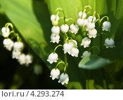 Купить «Ландыши (Convallaria)», фото № 4293274, снято 4 мая 2012 г. (c) ИВА Афонская / Фотобанк Лори
