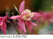 Цветок розовой аквилегии. Стоковое фото, фотограф Татьяна Кахилл / Фотобанк Лори