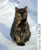 Купить «Кошка черепахового окраса на снегу», эксклюзивное фото № 4306378, снято 27 января 2013 г. (c) lana1501 / Фотобанк Лори