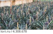 Плантация ананасов, Азоры, Португалия (2012 год). Стоковое фото, фотограф Роман Сулла / Фотобанк Лори