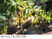 Цветение лимонника. Стоковое фото, фотограф Наталья Гуреева / Фотобанк Лори