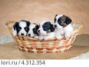 Купить «Четыре щенка породы папильон в корзинке», фото № 4312354, снято 21 февраля 2013 г. (c) Сергей Лаврентьев / Фотобанк Лори