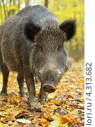 Портрет кабана в осеннем лесу. Стоковое фото, фотограф Эдуард Кислинский / Фотобанк Лори