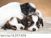 Купить «Три маленьких спящих щенка породы папильон», фото № 4317414, снято 21 февраля 2013 г. (c) Сергей Лаврентьев / Фотобанк Лори