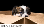 Купить «Маленький щенок в картонной коробке», фото № 4343194, снято 27 февраля 2013 г. (c) Сергей Лаврентьев / Фотобанк Лори