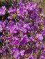 Байкальский багульник (лат.Rhododendron dauricum). Цветочный фон, фото № 4347530, снято 13 июня 2010 г. (c) Виктория Катьянова / Фотобанк Лори