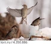 Купить «Воробьи», фото № 4350886, снято 25 февраля 2013 г. (c) Шумилов Владимир / Фотобанк Лори