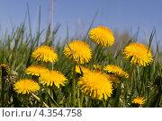 Желтые одуванчики в траве. Стоковое фото, фотограф Виталий Верхозин / Фотобанк Лори