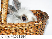 Кролик сидит в плетёной корзинке на белом фоне. Стоковое фото, фотограф CHERKAUSKAS VIKTOR / Фотобанк Лори