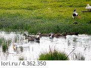 Купить «Утки домашние», фото № 4362350, снято 8 июля 2012 г. (c) Хайрятдинов Ринат / Фотобанк Лори