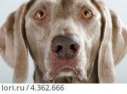 Купить «Портрет собаки», фото № 4362666, снято 24 февраля 2013 г. (c) Tatjana Baibakova / Фотобанк Лори