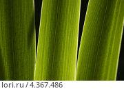 Листья ирисов в свете солнца. Стоковое фото, фотограф Ольга Герасимова / Фотобанк Лори