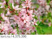 Цветущий миндаль (Prunus dulcis) Стоковое фото, фотограф Алёшина Оксана / Фотобанк Лори