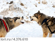 Купить «Собаки породы хаски зимой», фото № 4376610, снято 3 марта 2013 г. (c) Эдуард Кислинский / Фотобанк Лори