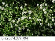 Купить «Текстура - маленькие беленькие цветочки в зеленой траве», фото № 4377794, снято 1 июня 2009 г. (c) Андрияшкин Александр / Фотобанк Лори