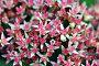 Текстура - розовые цветочки (макро), фото № 4377842, снято 17 сентября 2011 г. (c) Андрияшкин Александр / Фотобанк Лори