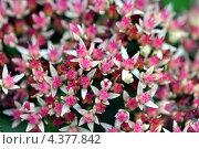 Купить «Текстура - розовые цветочки (макро)», фото № 4377842, снято 17 сентября 2011 г. (c) Андрияшкин Александр / Фотобанк Лори