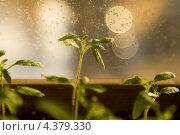 Купить «Рассада помидора в теплых тонах. Малая глубина резкости.», фото № 4379330, снято 8 марта 2013 г. (c) Gagara / Фотобанк Лори
