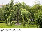Купить «Цветочные жирафы. Красноярск», эксклюзивное фото № 4379526, снято 13 июля 2012 г. (c) Шичкина Антонина / Фотобанк Лори