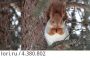 Купить «Белка грызет орех», видеоролик № 4380802, снято 8 марта 2013 г. (c) Юлия Машкова / Фотобанк Лори