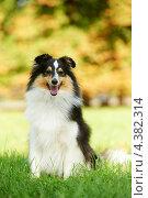 Купить «Шотландская овчарка», фото № 4382314, снято 25 сентября 2011 г. (c) Дмитрий Калиновский / Фотобанк Лори
