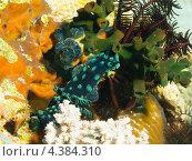 Купить «Голожаберный моллюск Немброта гребенчатая (Crested nembrotha, Nembrotha cristata) на коралле», фото № 4384310, снято 10 мая 2012 г. (c) Сергей Дубров / Фотобанк Лори
