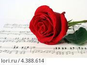 Красная роза (2013 год). Редакционное фото, фотограф Марат Сафаров / Фотобанк Лори