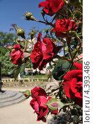 Куст роз. Стоковое фото, фотограф Арина Гредина / Фотобанк Лори