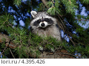 Купить «Енот на ветке сосны», фото № 4395426, снято 7 мая 2012 г. (c) Олег Пчелов / Фотобанк Лори