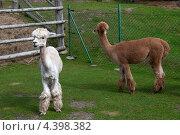 Две стриженные ламы смотрят в разные стороны. Стоковое фото, фотограф Яна Шпакова / Фотобанк Лори