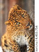 Купить «Леопард внимательно смотрит вперед», фото № 4403754, снято 8 января 2013 г. (c) Эдуард Кислинский / Фотобанк Лори