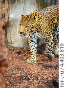 Купить «Леопард в зоопарке», фото № 4403810, снято 16 сентября 2012 г. (c) Эдуард Кислинский / Фотобанк Лори