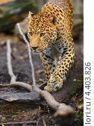 Купить «Леопард в естественной среде обитания», фото № 4403826, снято 30 сентября 2012 г. (c) Эдуард Кислинский / Фотобанк Лори