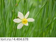 Купить «Нарцисс (Narcissus)», эксклюзивное фото № 4404678, снято 8 мая 2011 г. (c) Алёшина Оксана / Фотобанк Лори