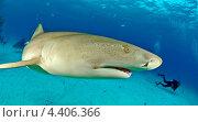 Лимонная акула. Стоковое фото, фотограф Игорь Анатольевич / Фотобанк Лори