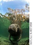 Ламантин, Crystal River, Florida. Стоковое фото, фотограф Игорь Анатольевич / Фотобанк Лори