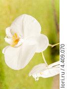 Купить «Белая орхидея», фото № 4409070, снято 15 ноября 2012 г. (c) Katerina Anpilogova / Фотобанк Лори