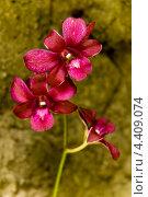 Купить «Бордовая орхидея», фото № 4409074, снято 15 ноября 2012 г. (c) Katerina Anpilogova / Фотобанк Лори