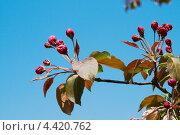 Цветущая вишня. Стоковое фото, фотограф Raulin / Фотобанк Лори