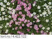 Текстура из мелких пятилепестковых цветков. Стоковое фото, фотограф Николай Корсунь / Фотобанк Лори
