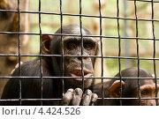 Шимпанзе в клетке, Ялтинский зоопарк. Стоковое фото, фотограф ИВА Афонская / Фотобанк Лори